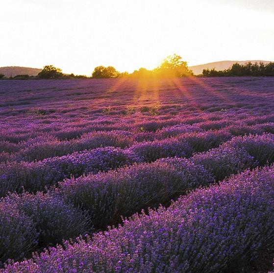 Lavender Bang