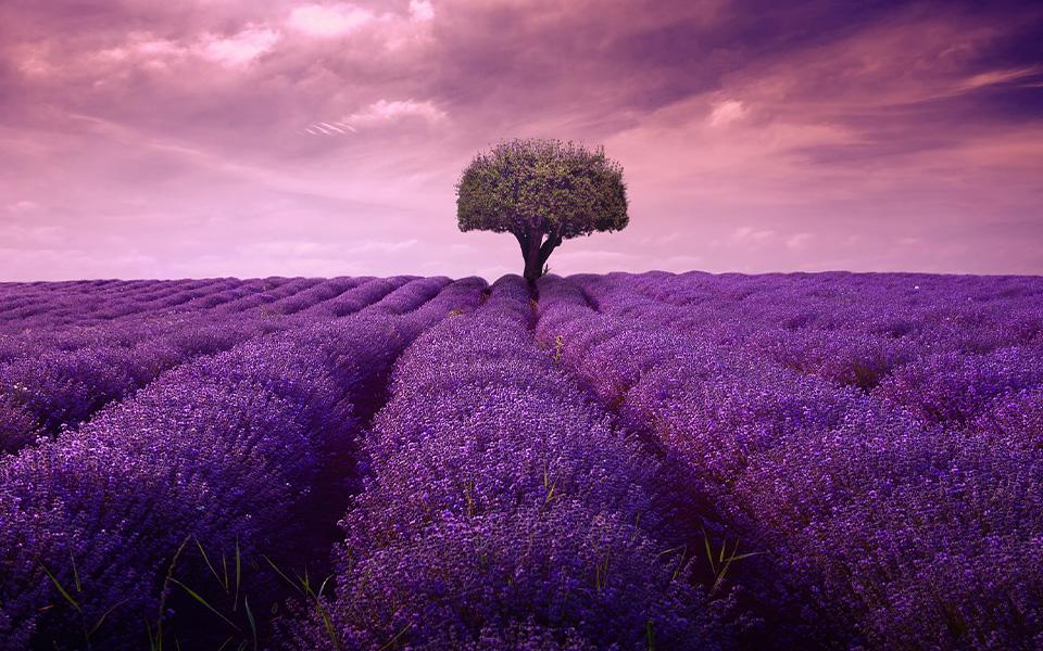 Lavender Bang 600 x 960