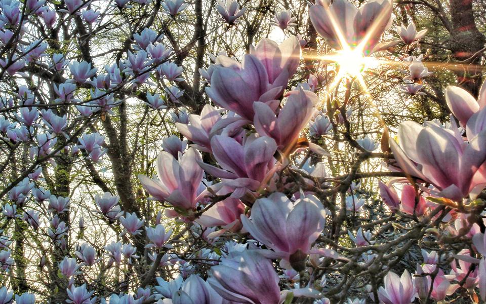 Magnolia Grows 600 x 960